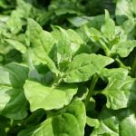 NZ Spinach