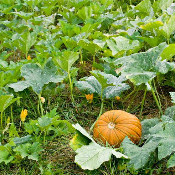 Growing Pumpkin In Usa Zone 5a Climate