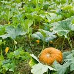 Pumpkin on vine
