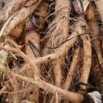 Harvested salsify roots