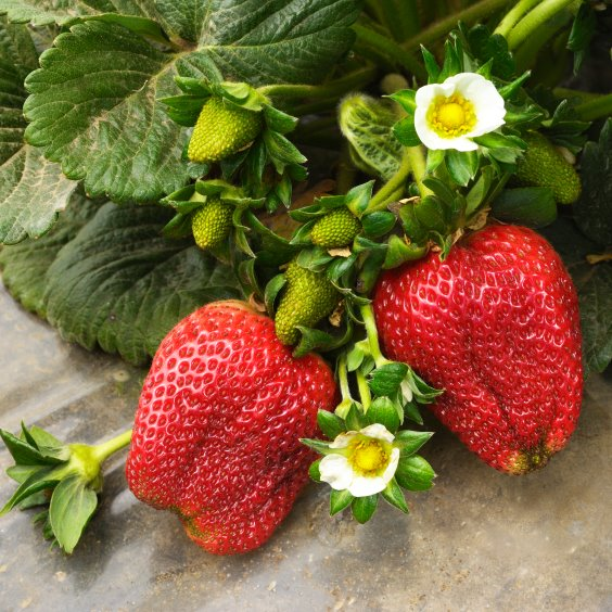 Growing Strawberry Plants In USA
