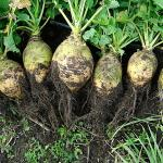 Rutabaga harvest (commons.wikimedia.org - Seedambassadors - CC BY-SA 3.0)