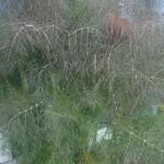 Bronze fennel